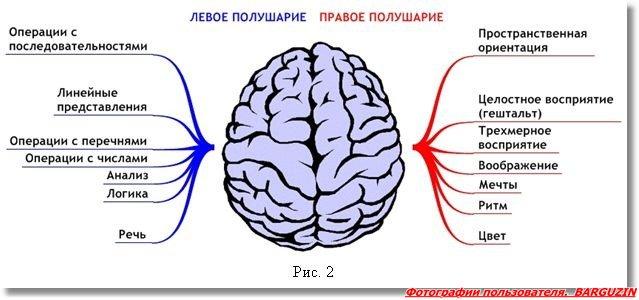 Упращенная схема разделения функций между полушариями головного мозга